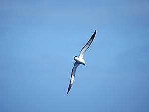 Puffin du Cap Vert en vol